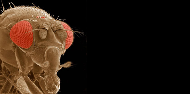 Scanning electron micrograph of Drosophila melanogaster