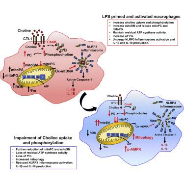 Choline Uptake and Metabolism Modulate Macrophage IL-1β and IL-18 Production