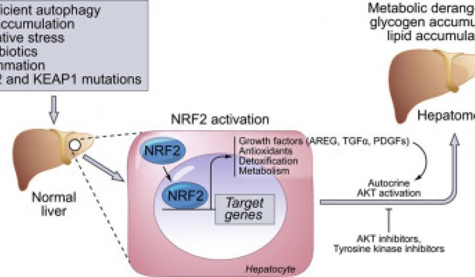 NRF2 Activation Image